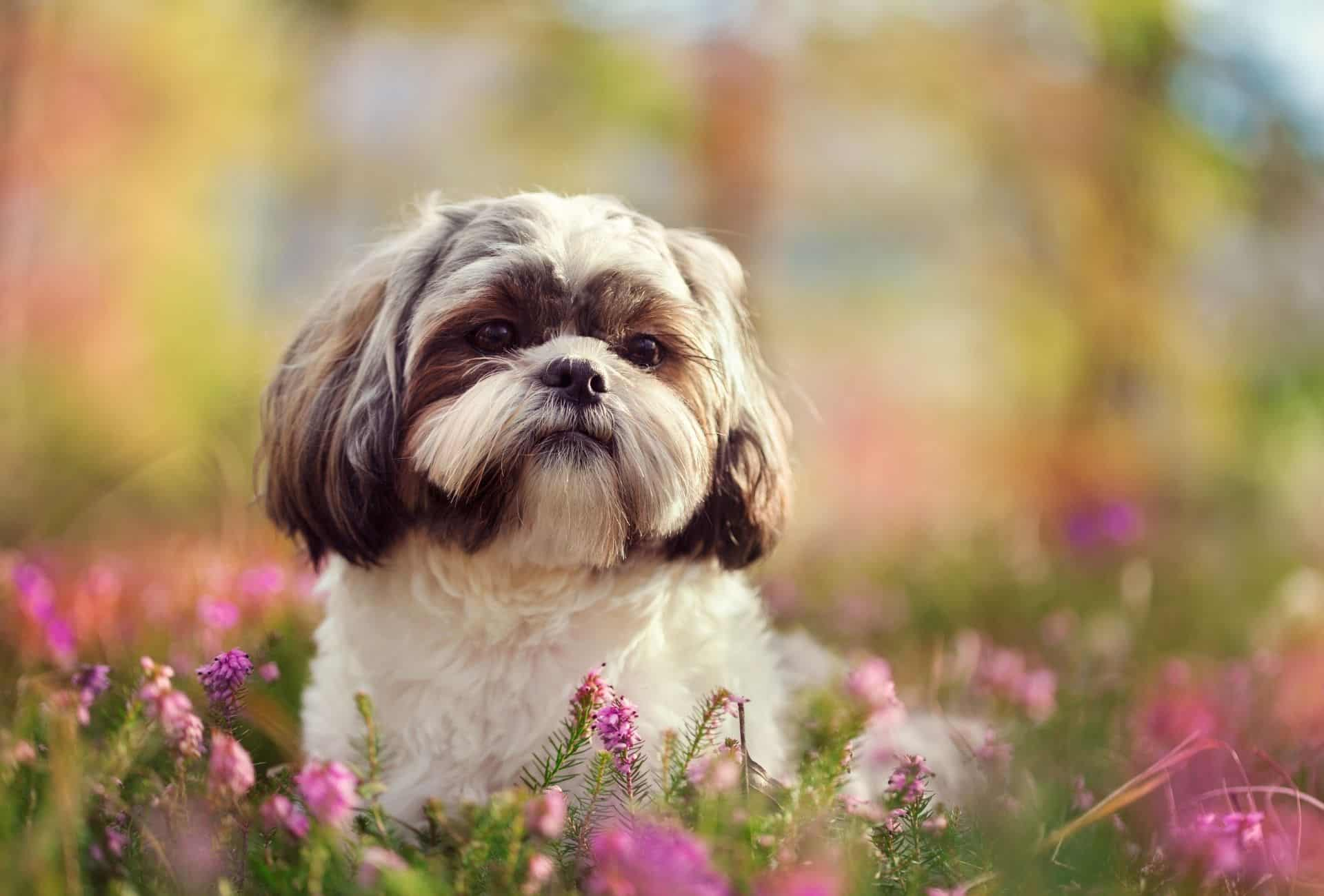 Curly Shih Tzu among blossoming flowers.