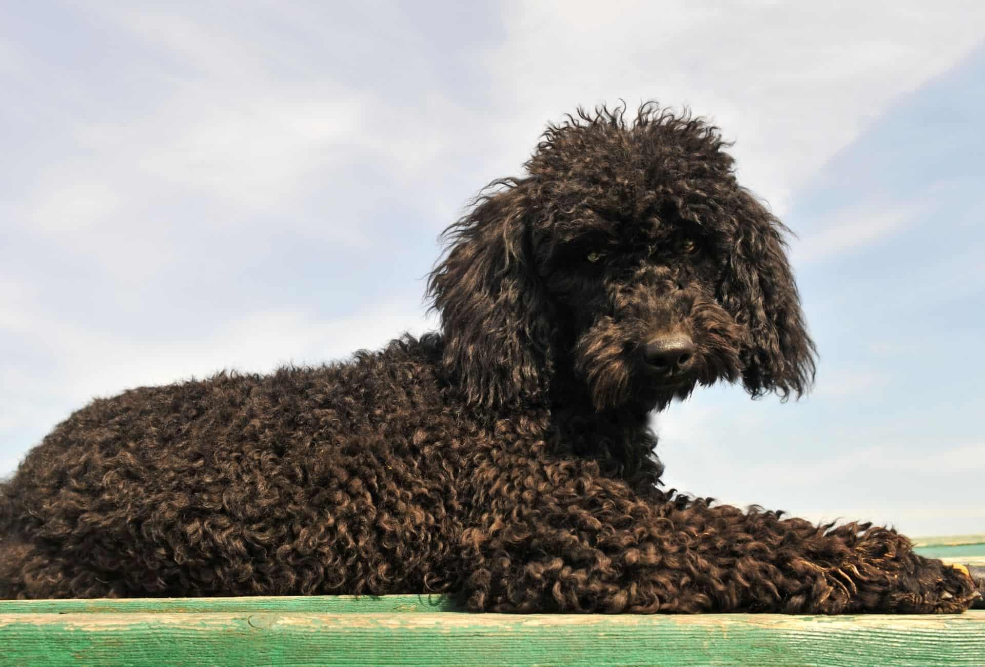 Well-groomed black Standard Poodle.