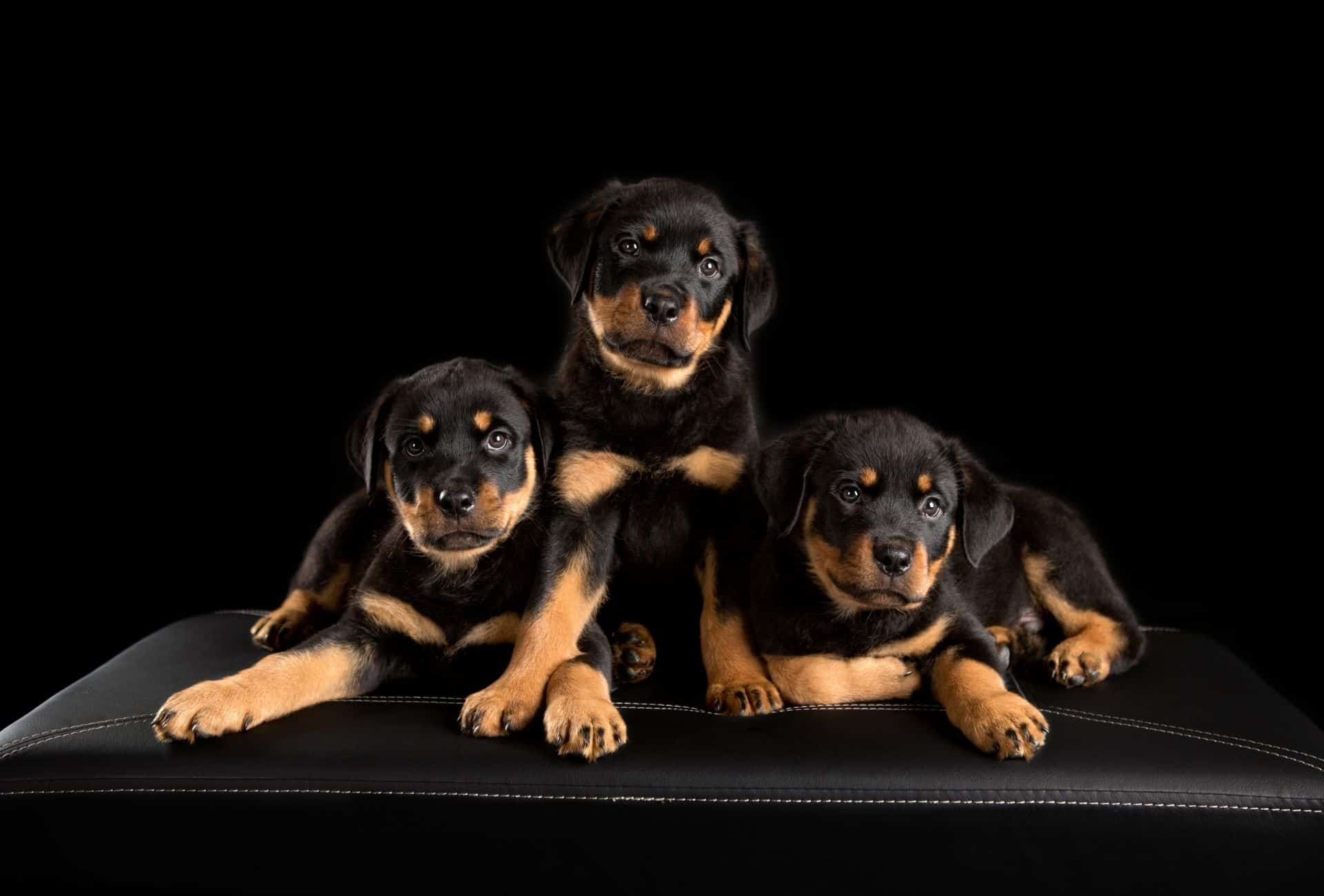 Three Rottweiler puppies posing in front of black background. Getting three sibling puppies can set you up for littermate syndrome.