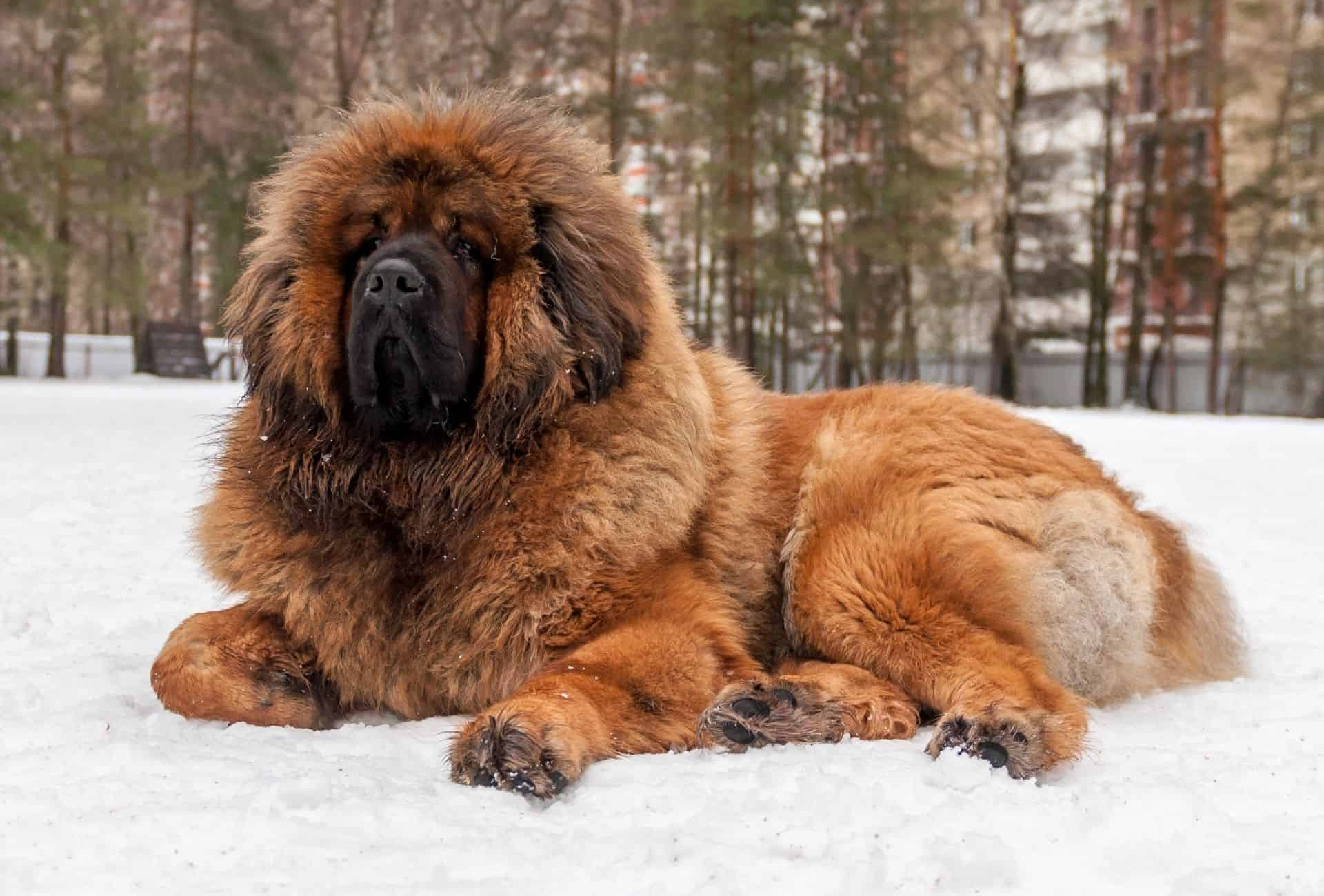Big Tibetan Mastiff laying in the snow.