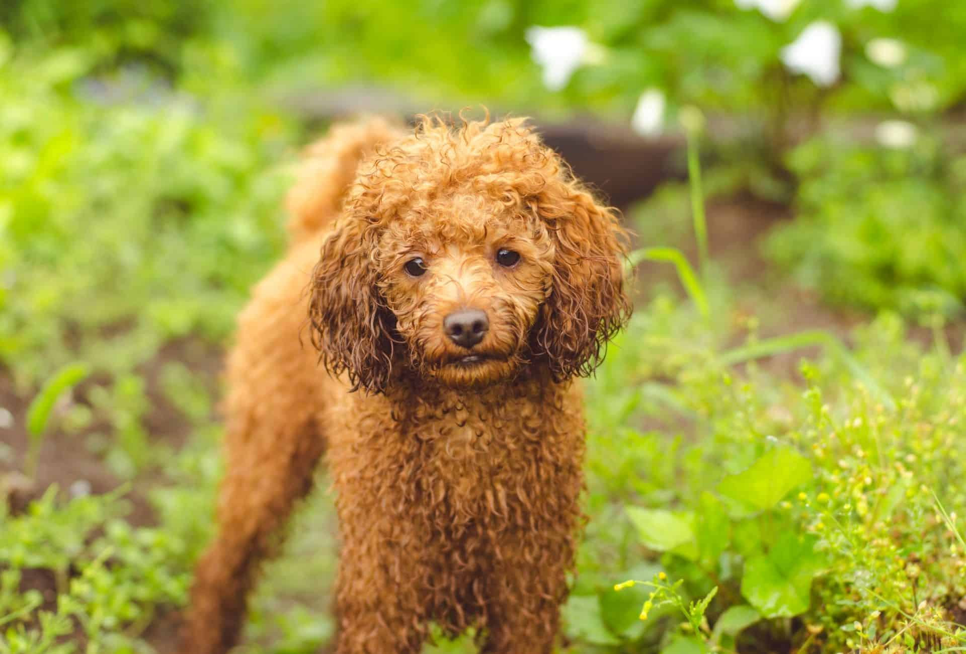 Mini Toy Poodle with wet ears.