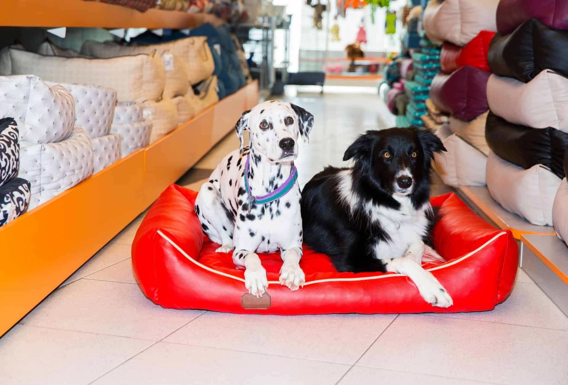 A Dalmatian and a Collie inside a pet store try out a dog bed.