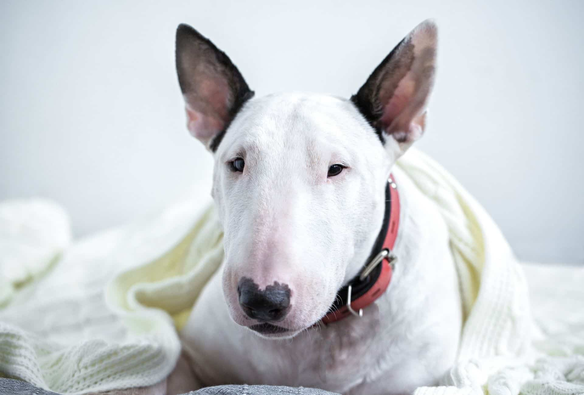 White Bullterrier under a white blanket in front of a plain white wall.