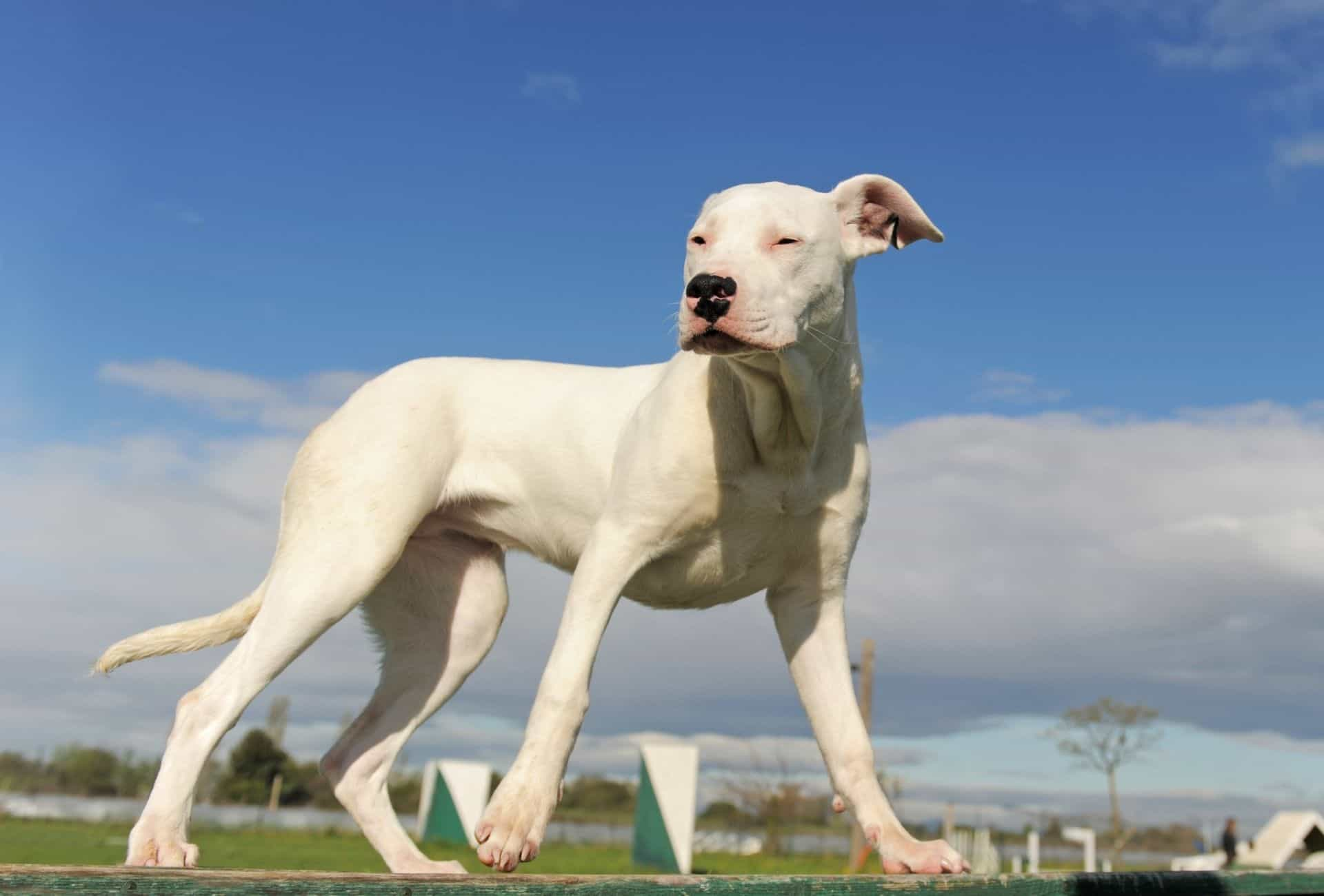 White Dogo Argentino in daylight standing on grass and squinting at the sunlight.