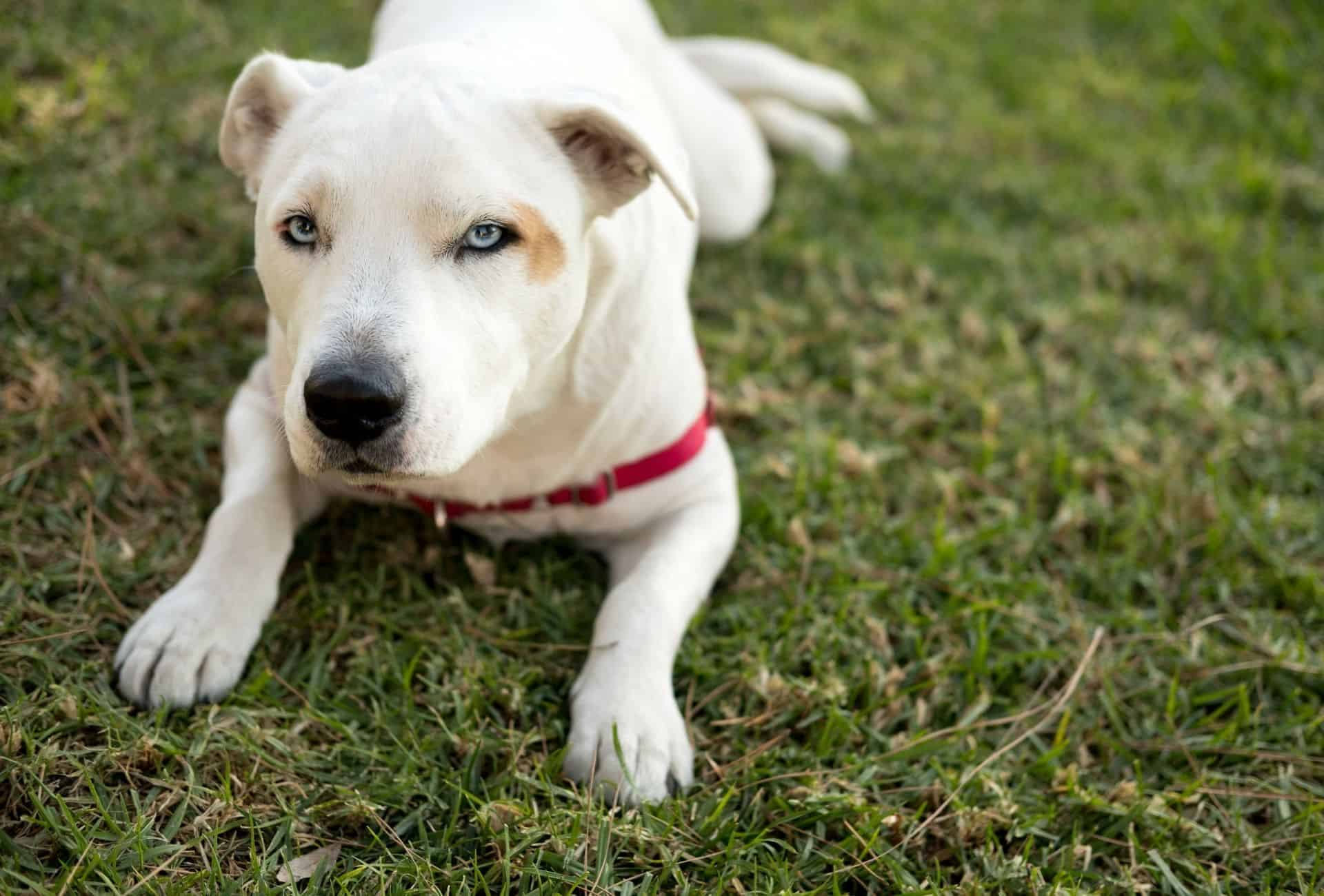 Dog with a white coat and blue eyes laying down on grass.