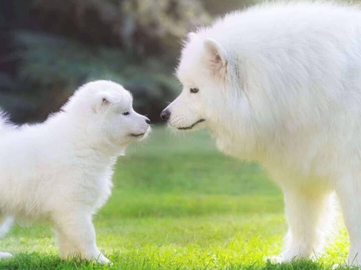 White dog boops puppy's nose.
