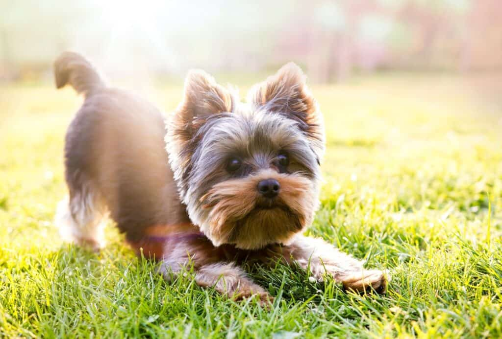 Yorkshire Terrier performing a play bow on grass.
