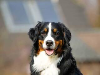 bernese mountain dog portrait shot