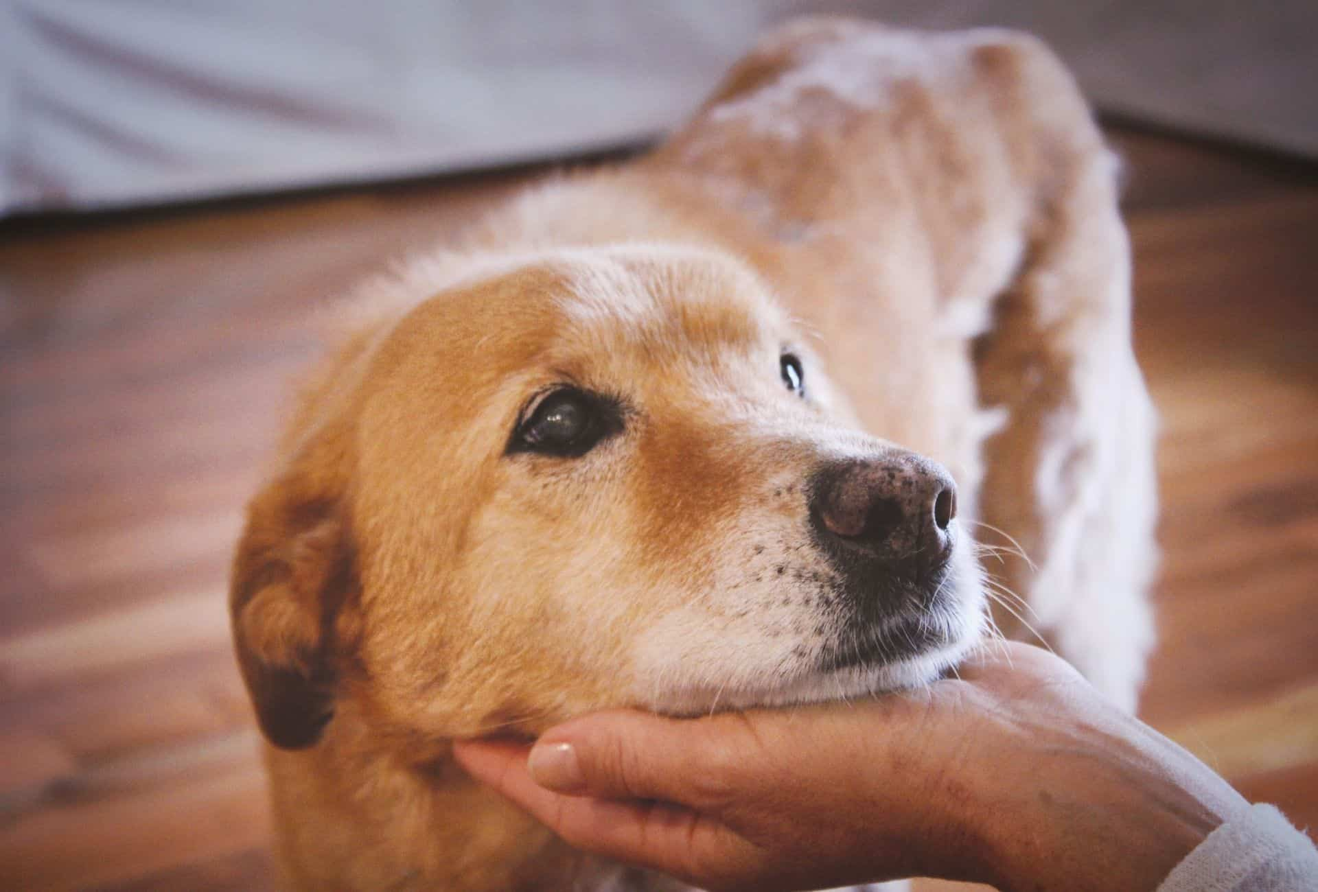 Cute dog laying head on owner's hand.
