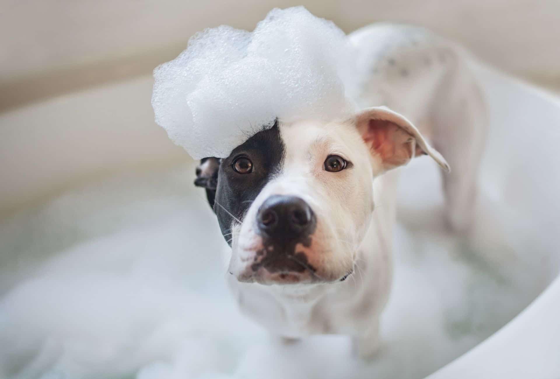 Pitbull in bathtub
