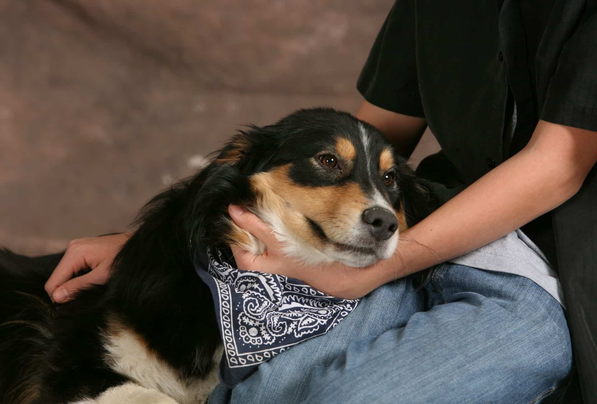Mixed dog laying on lap.