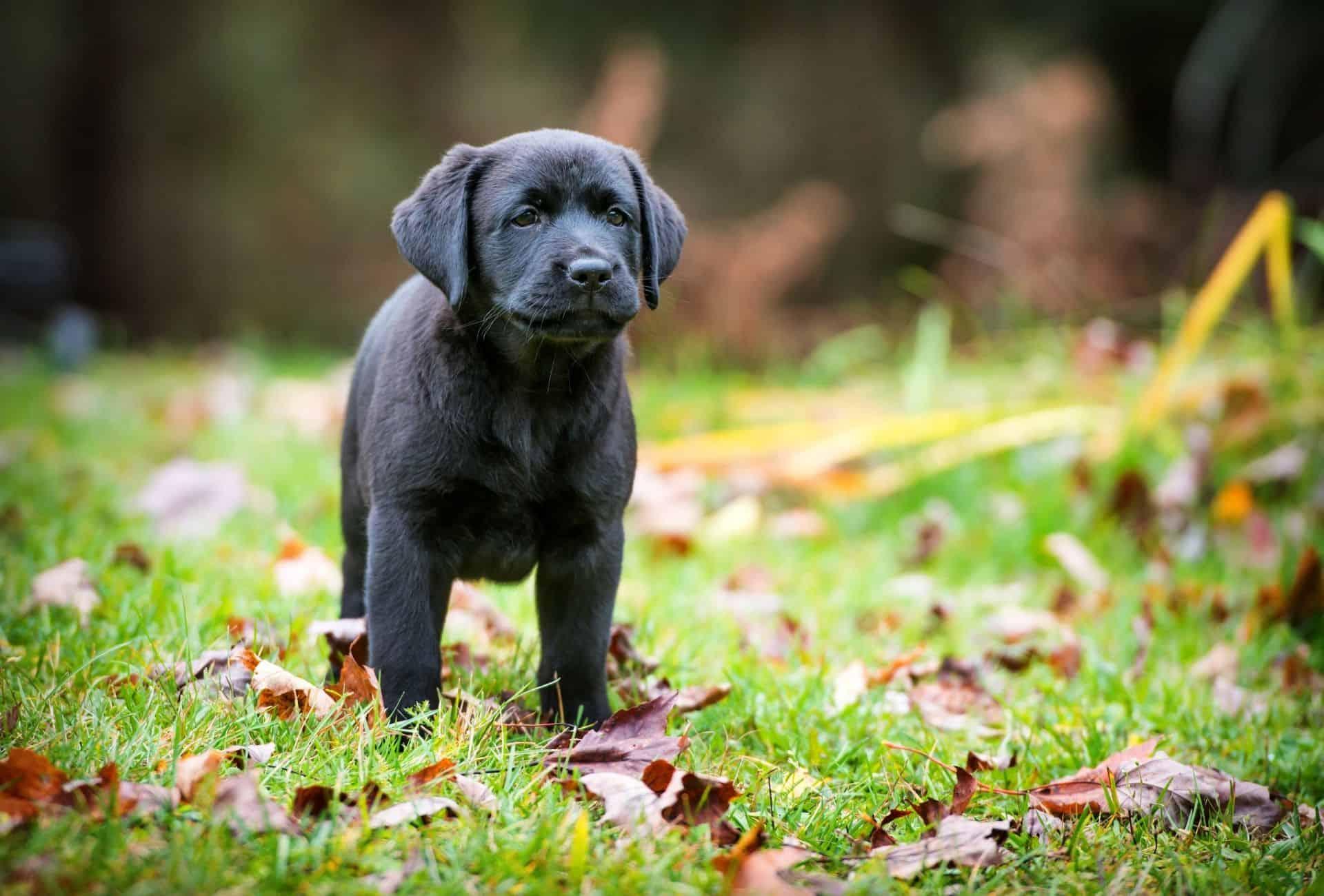 Purebred Labrador puppy.