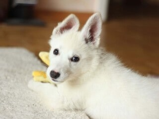 White Shepherd puppy