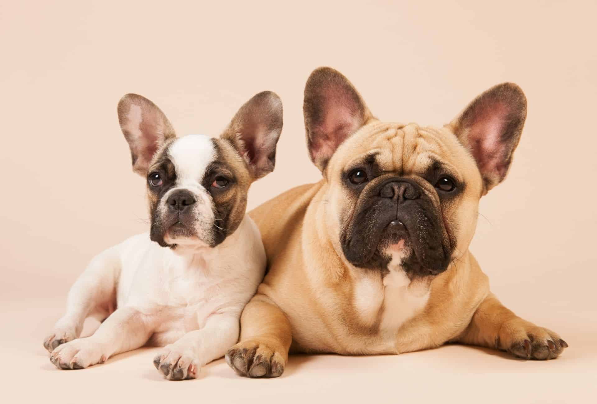 French Bulldog puppy is lying next to an adult French Bulldog.