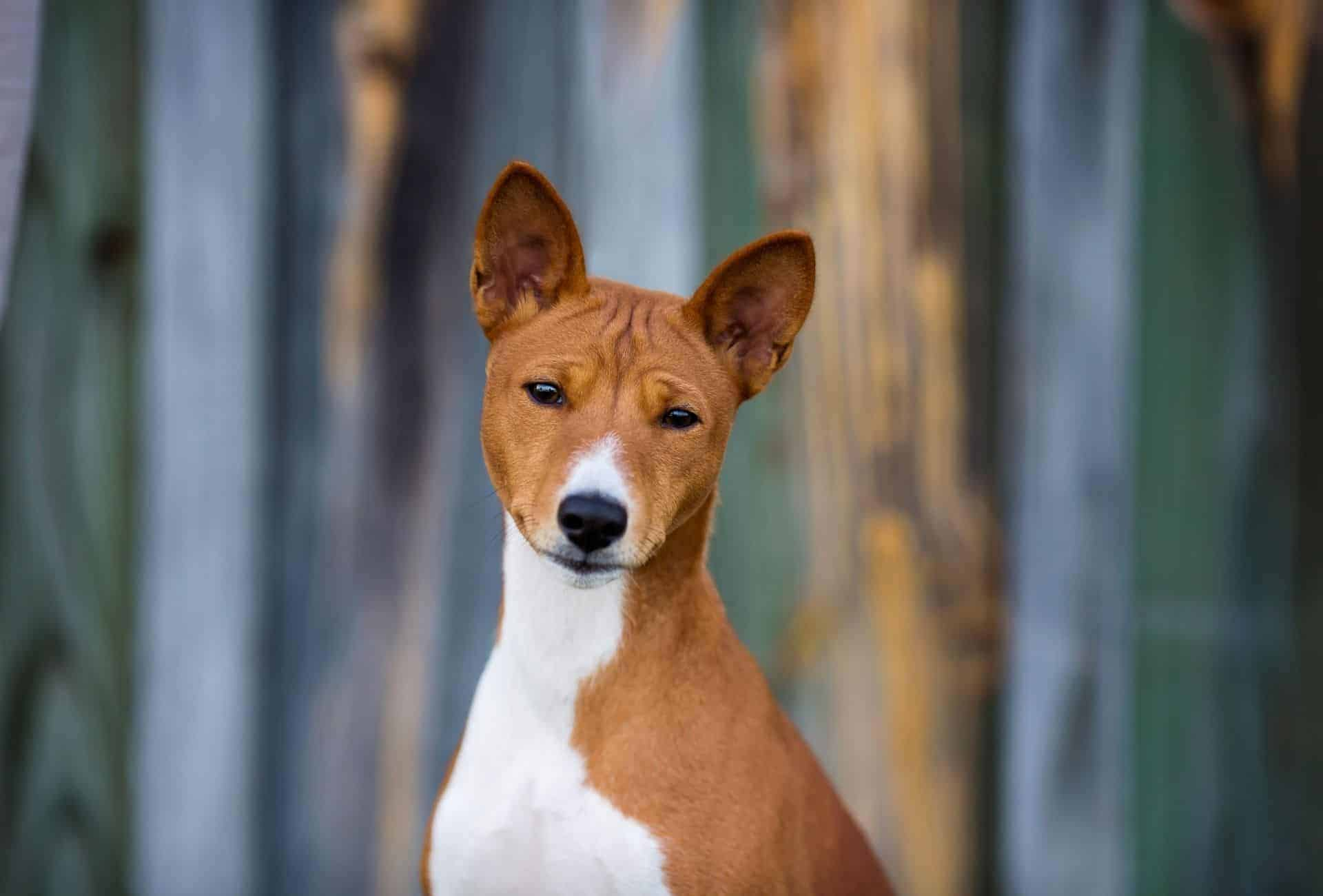 Close up of the Basenji's head and part of the white chest.