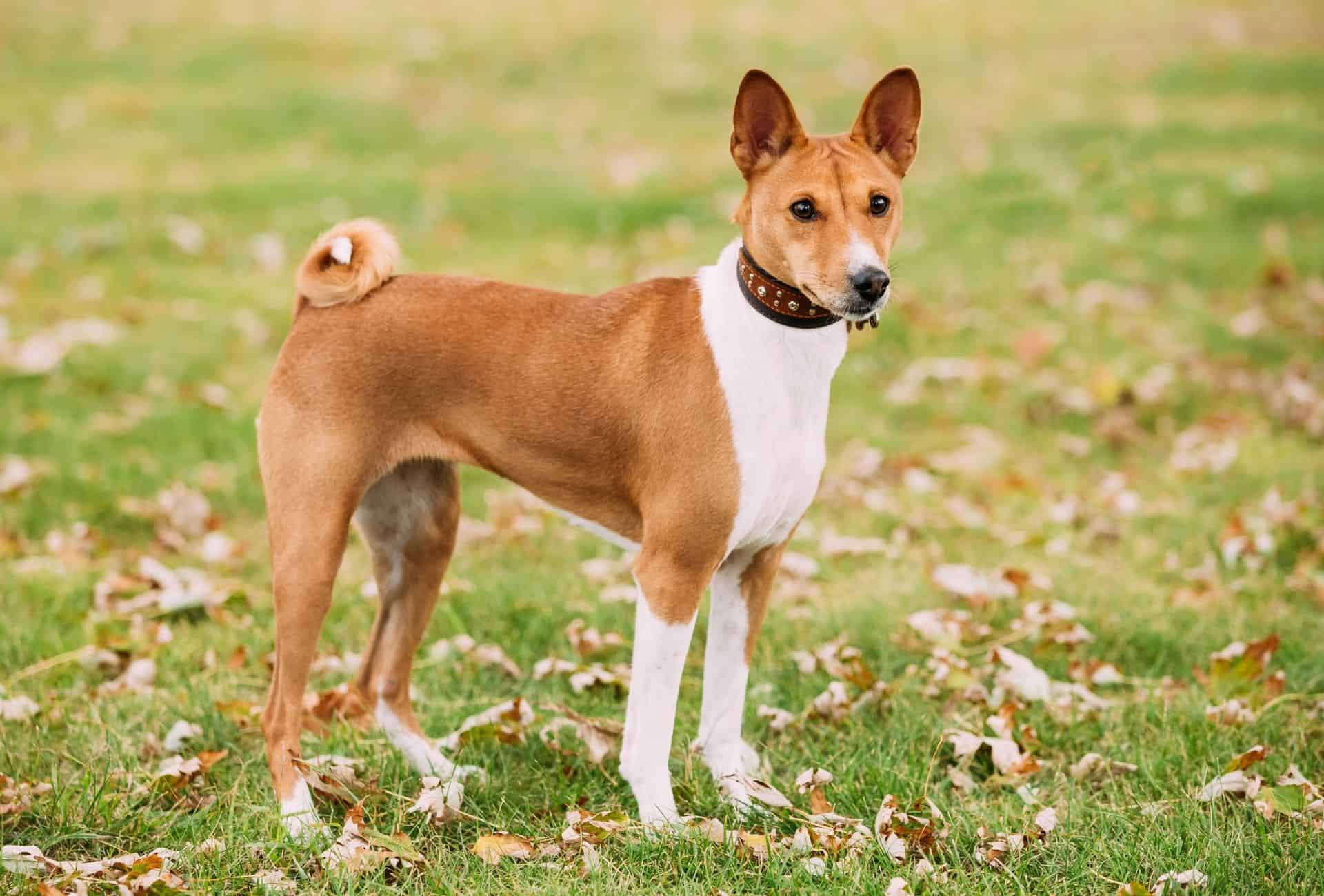 Adult Basenji standing on grass and looking at the camera.