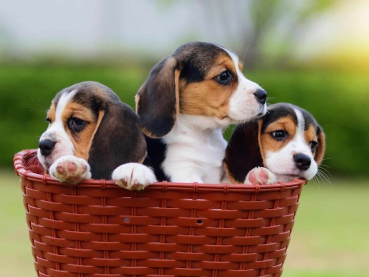 Three Beagle puppies sitting in a basket. Little rascals might develop littermate syndrome if taken home together.
