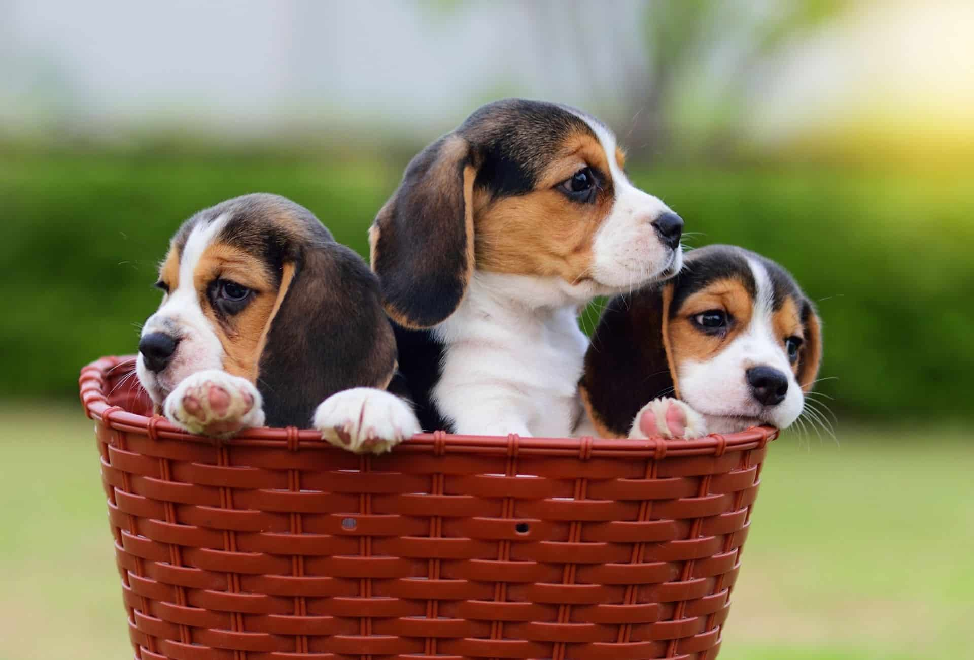 Three Beagle puppies sit in a basket.