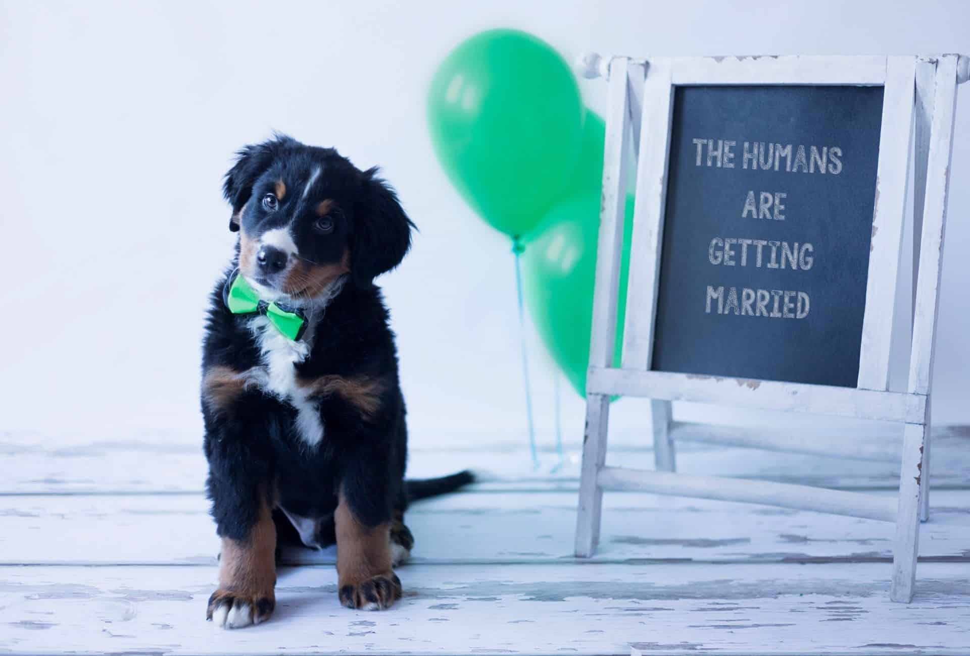 Bernese Mountain Dog with tie is celebrating the upcoming baby, implying this breed is great for kids.