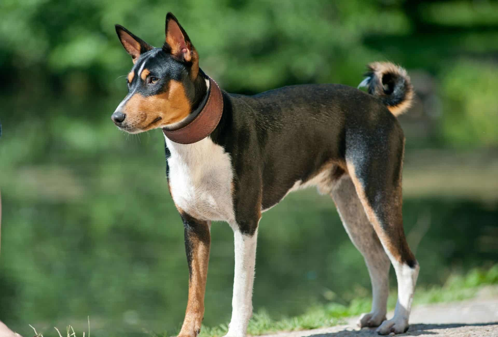 Basenji with dominating black coat but also white on the legs and chest as well as brown around the face.