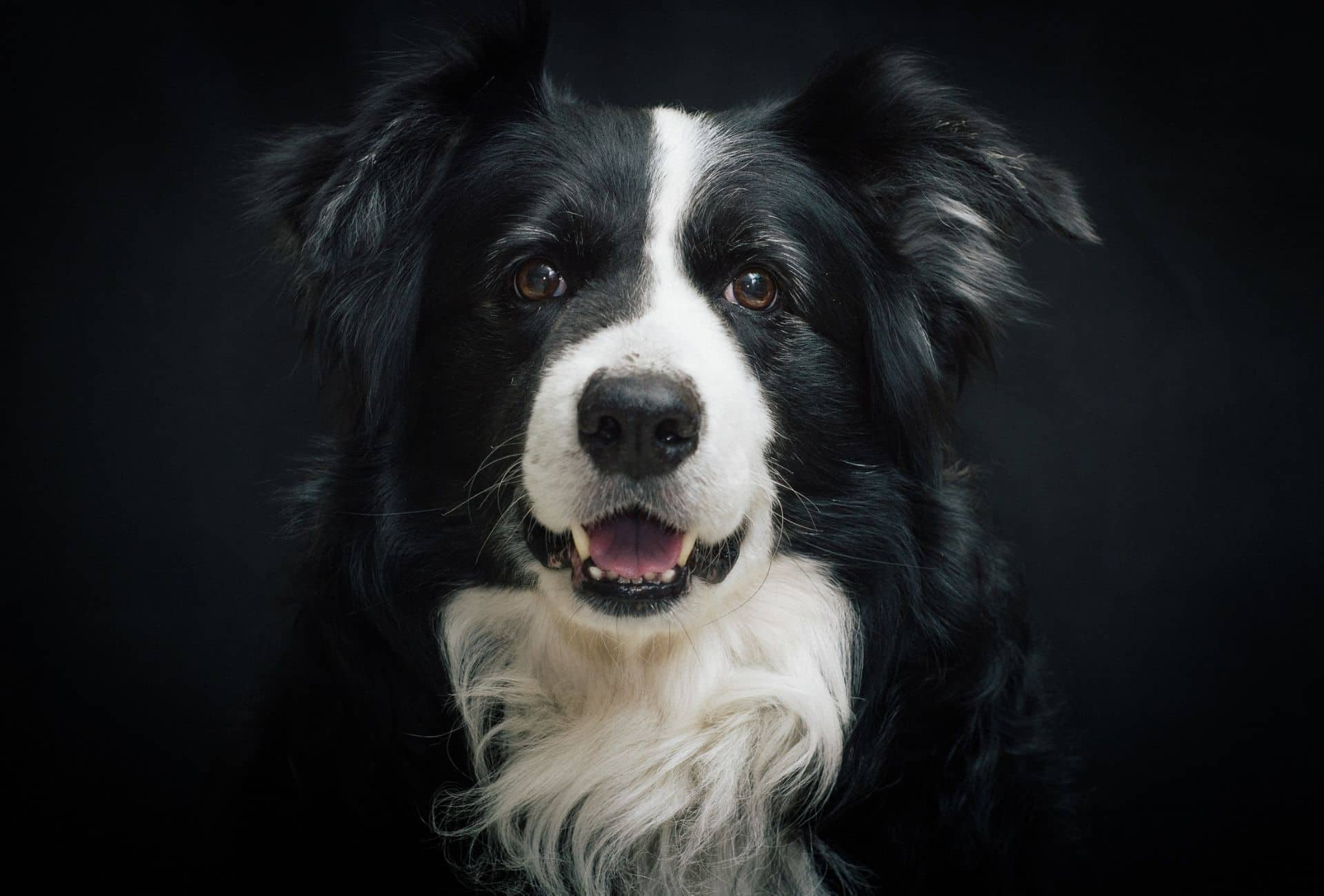 Beautiful black border Collie with white chest patch and white between the eyes in front of black background.