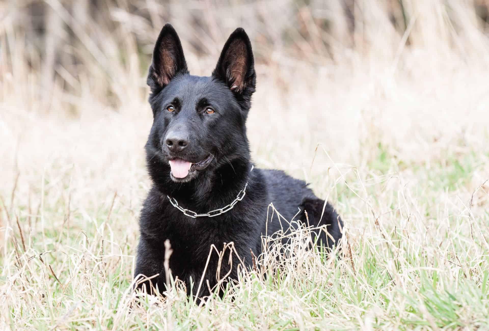 Solid black German Shepherd in the field.