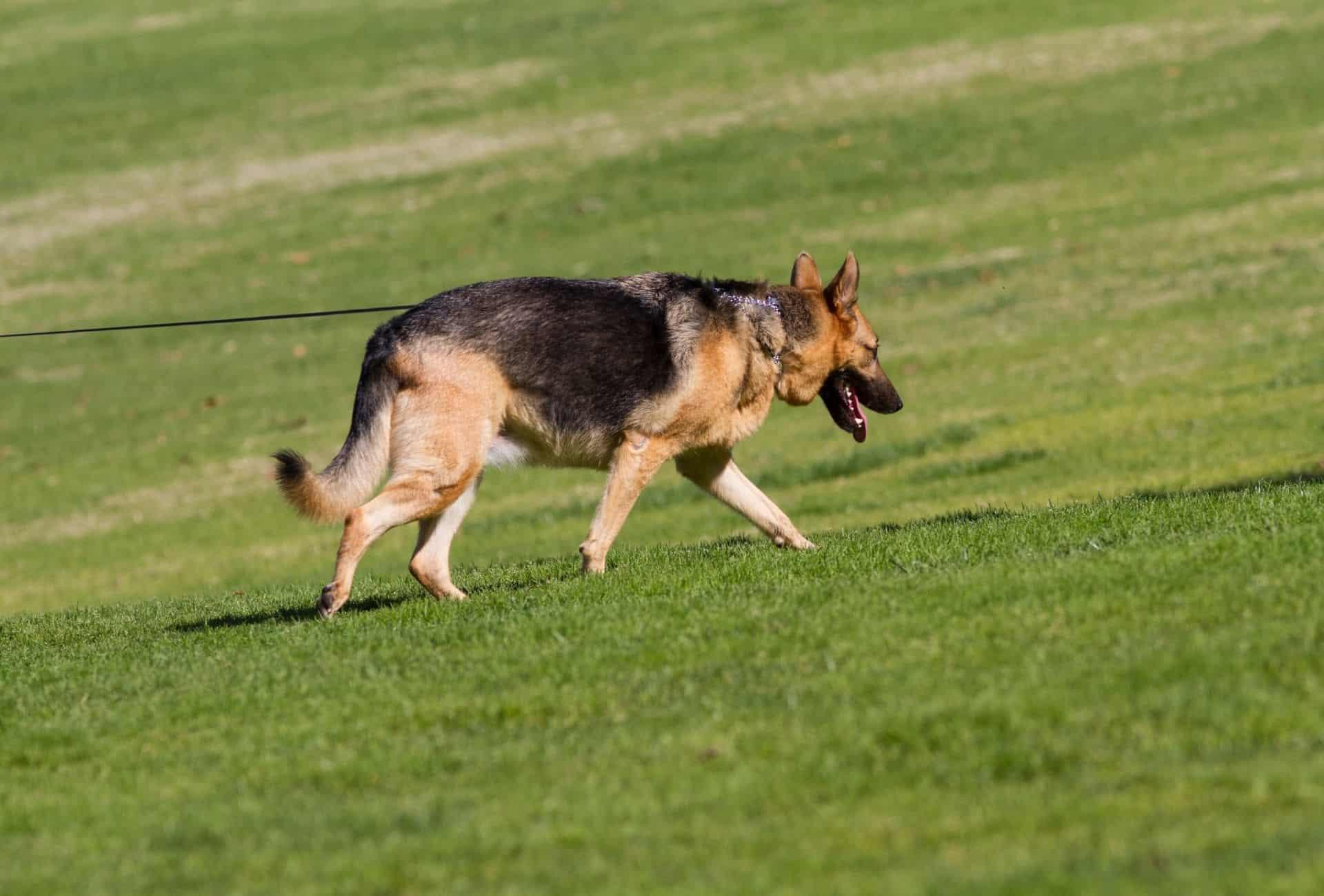German Shepherd roaming on grassy field.