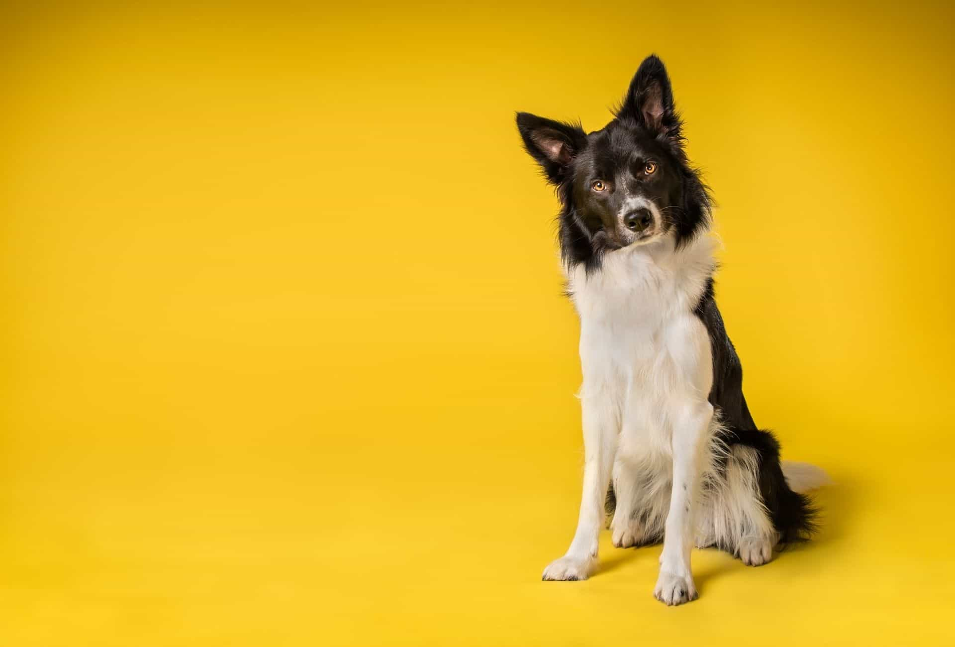 Black and white Border Collie on yellow background.
