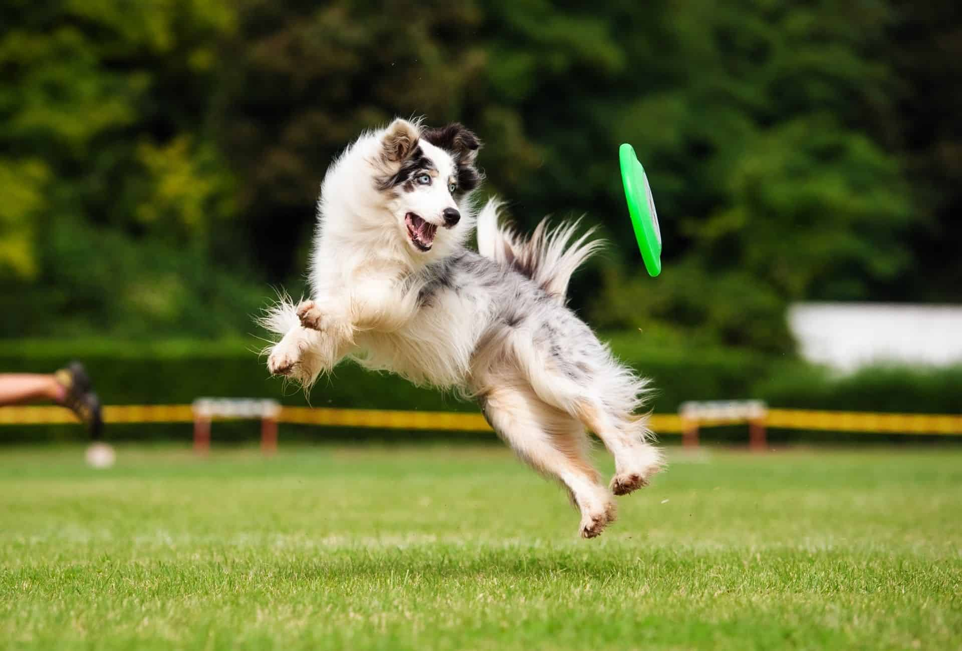 Blue merle Border Collie with blue eyes jumping mid-air to catch a frisbee.