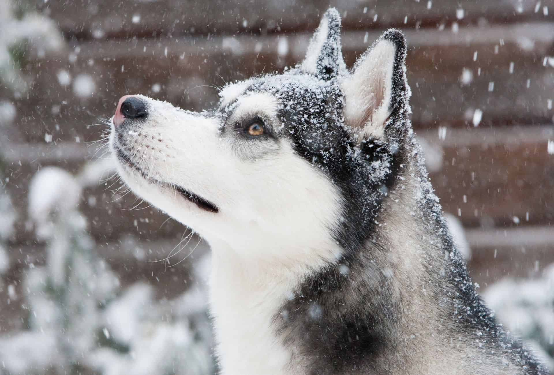 Close-up of a Husky looking up to see the snow falling.