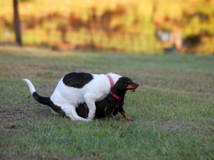 Dog is mounting another dog which might result in slip mating if the male pulls out before the tie.