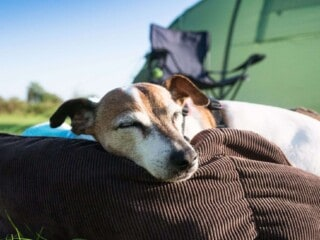 Dog is resting outdoors in front of the tent during the day.