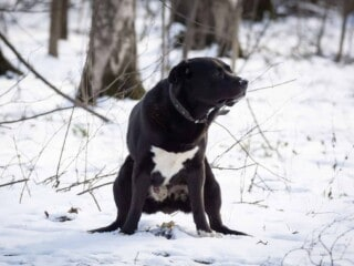 Black dog is about to poop which can be caused by a swollen bottom.