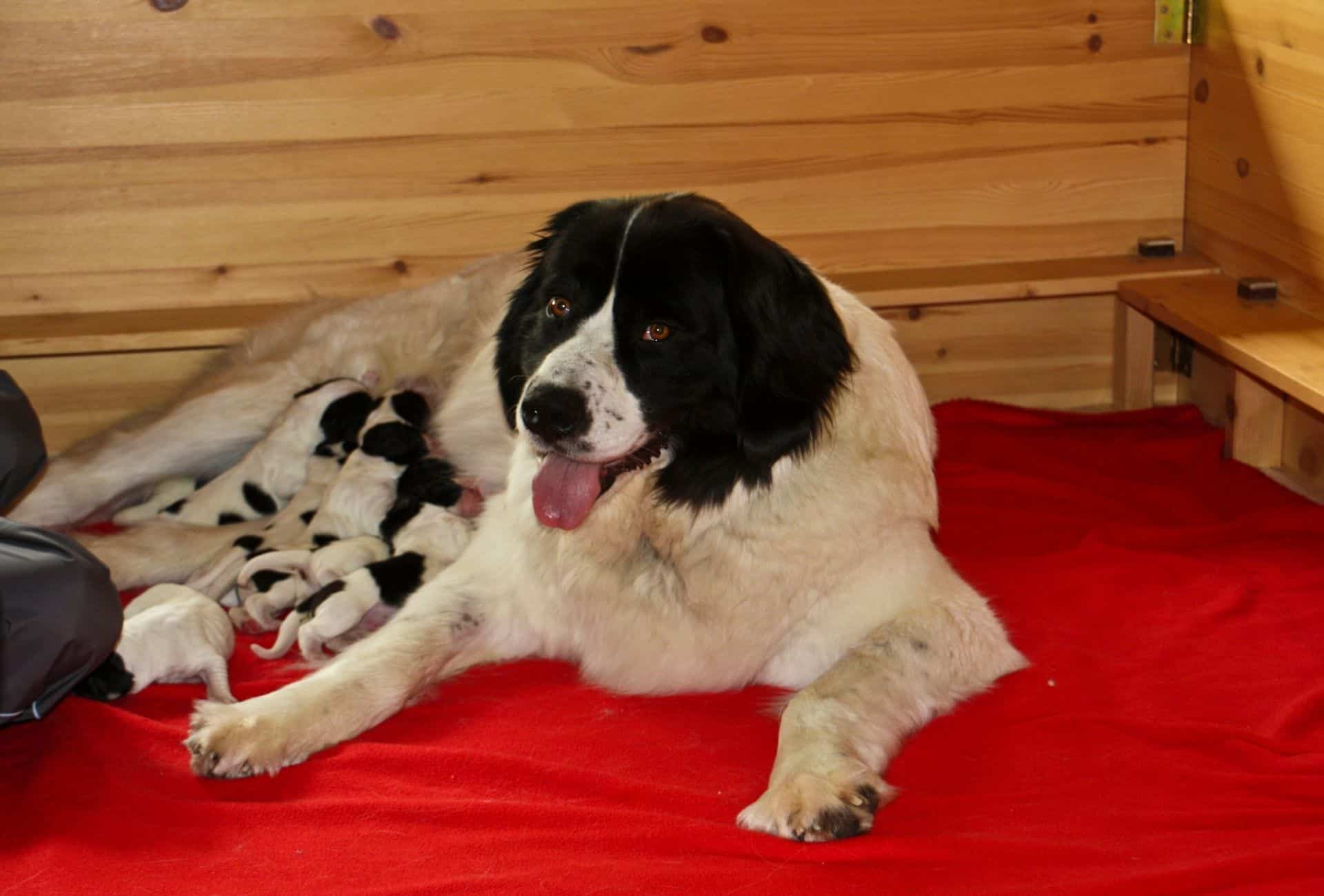 Big female dog nursing her puppies inside a wooden whelping box that is laid out with a red blanket.