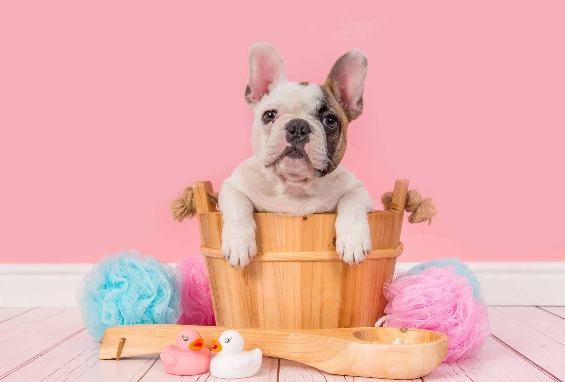 Cute French Bulldog sits in a wooden basket in front of a pink background.