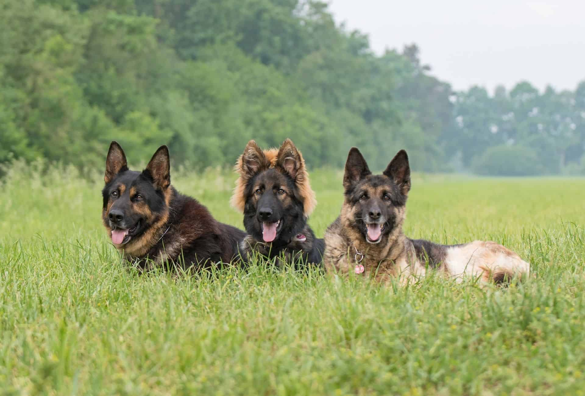 Three German Shepherds in various sable or black and tan colors with long and short coats.