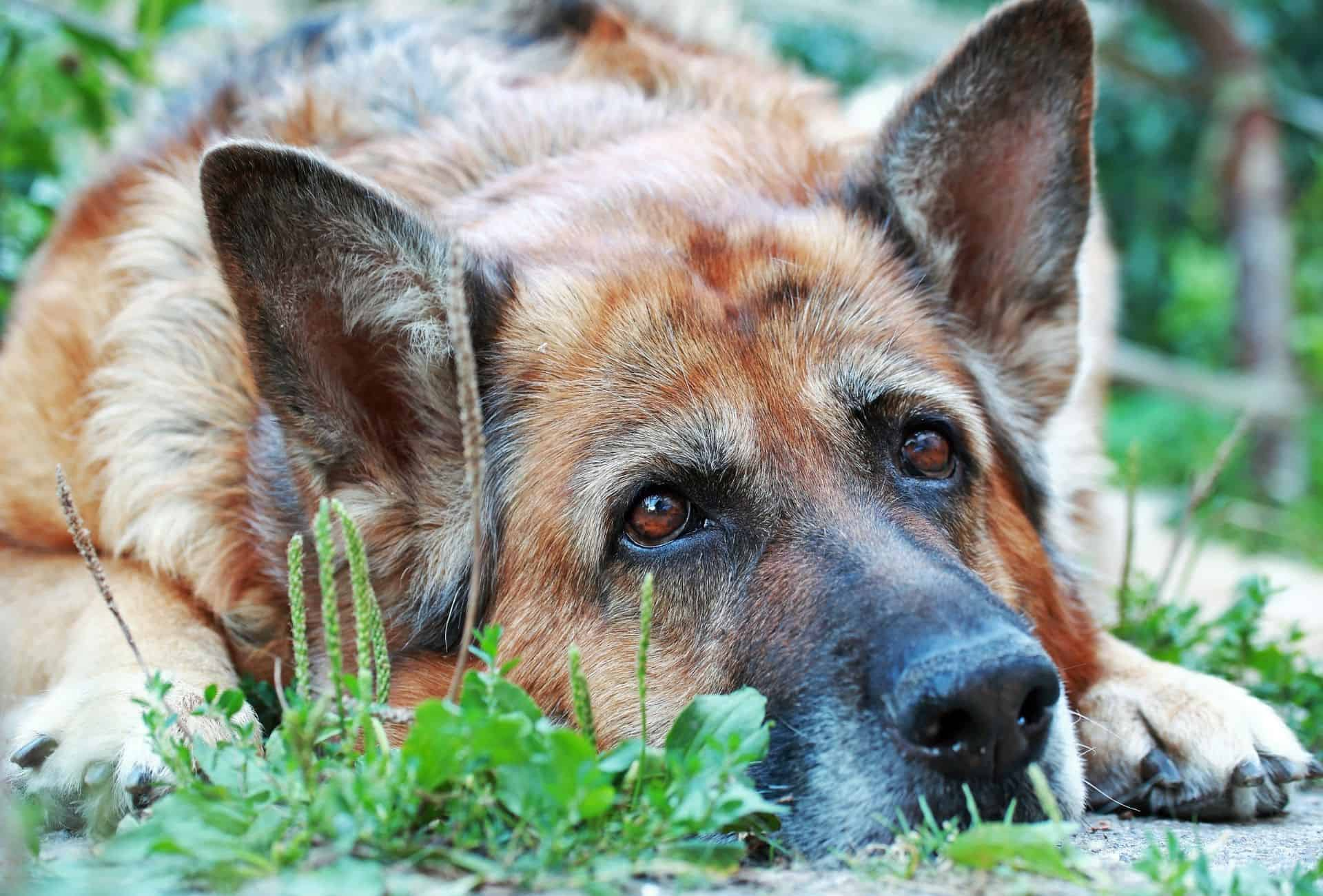 German Shepherd has his snout on the ground but his eyes are alert.
