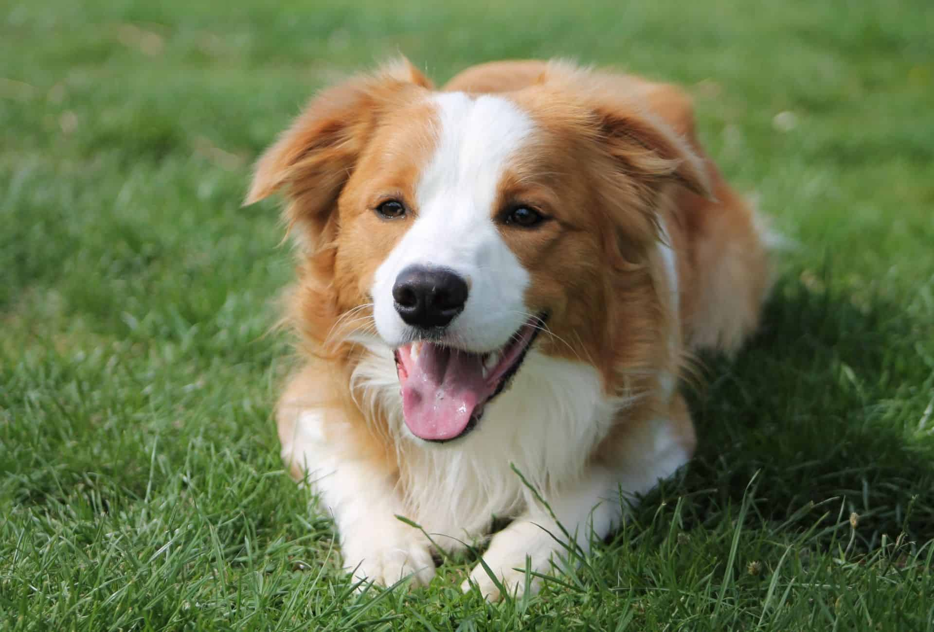 Gold Border Collie with white between the eyes lying down on grass.