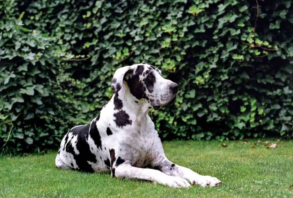 Great Dane calmly laying the yard.