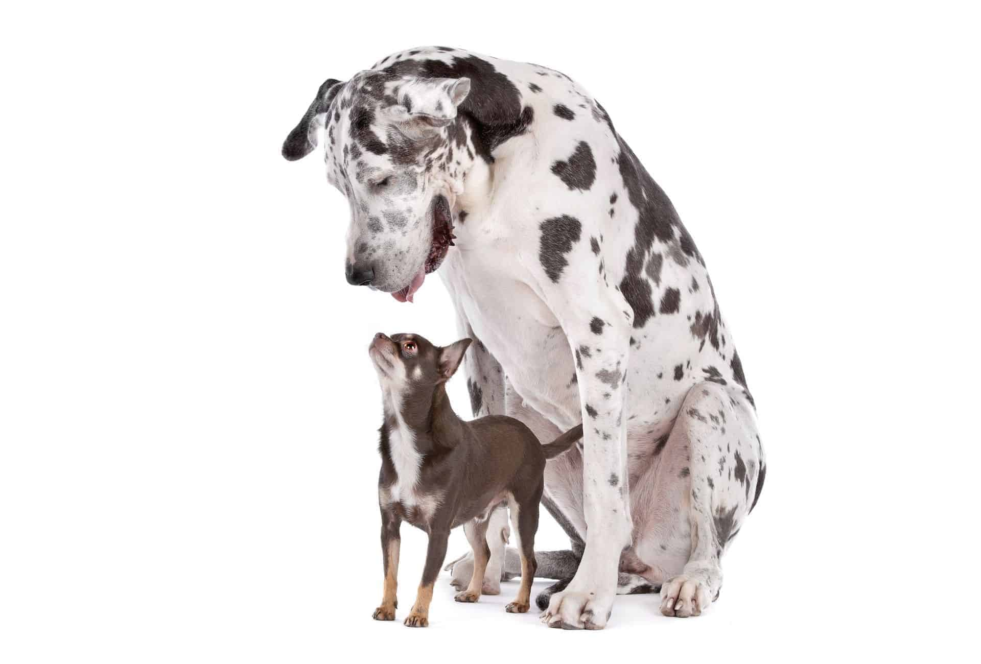 Great Dane looks down on Chihuahua, a smaller dog breed that often has a longer lifespan compared to large breeds.