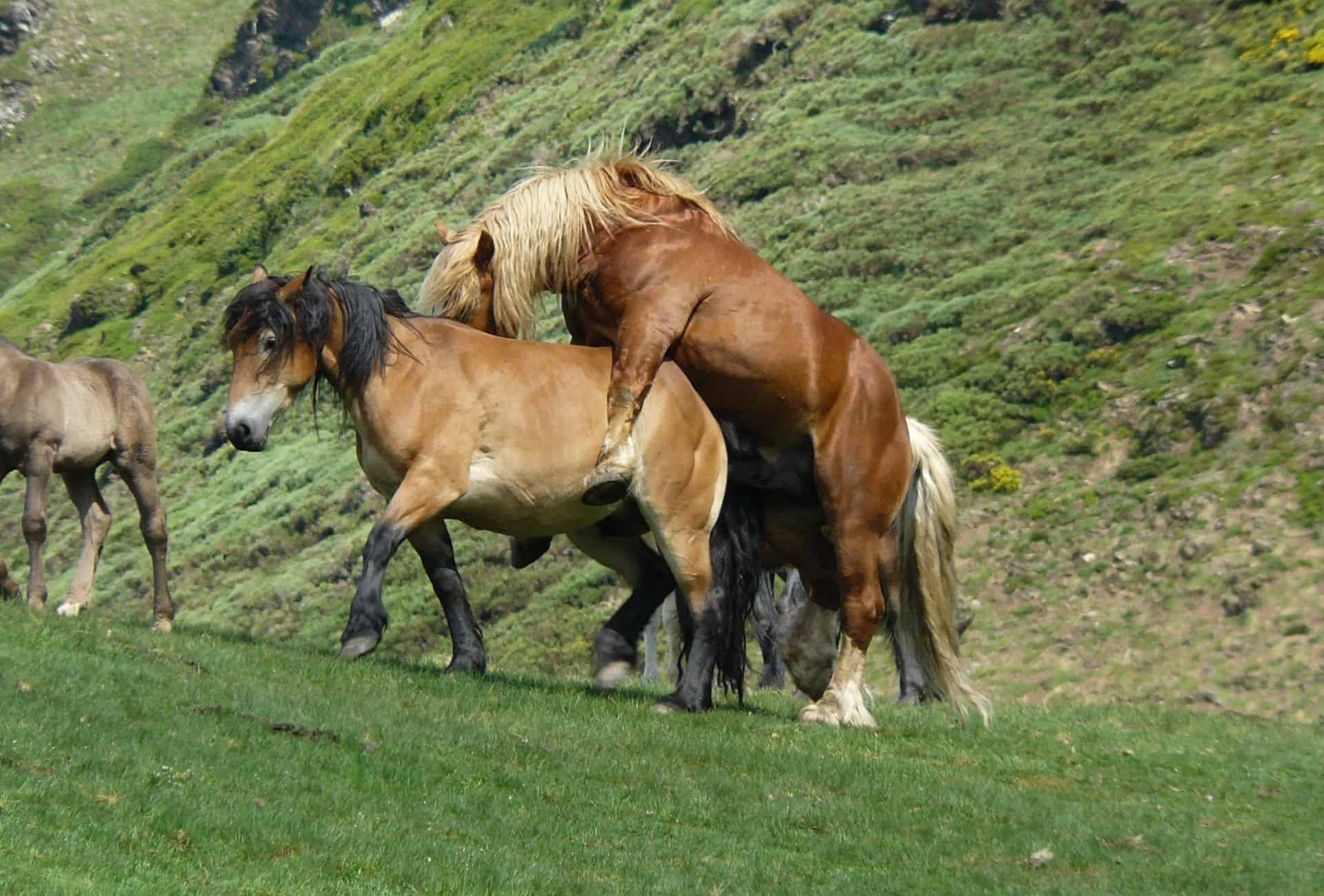 One horse on a grassy field is mounting another horse.