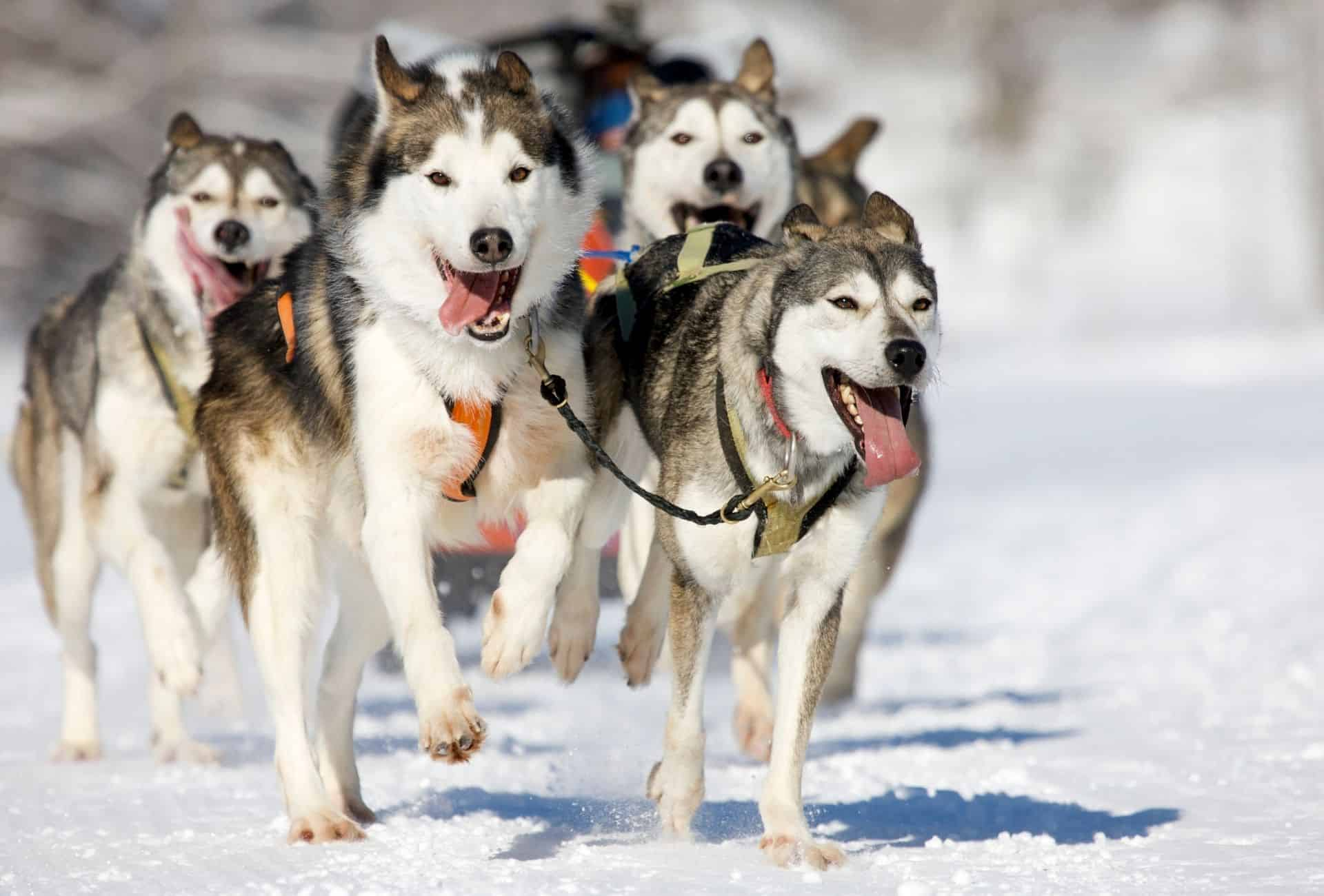 Several Huskies pull a sled in the snow, running with their tongues out.