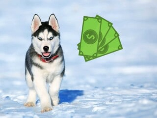 Husky puppy running snow with dollar bills next to him, displaying that Husky puppies can be expensive.
