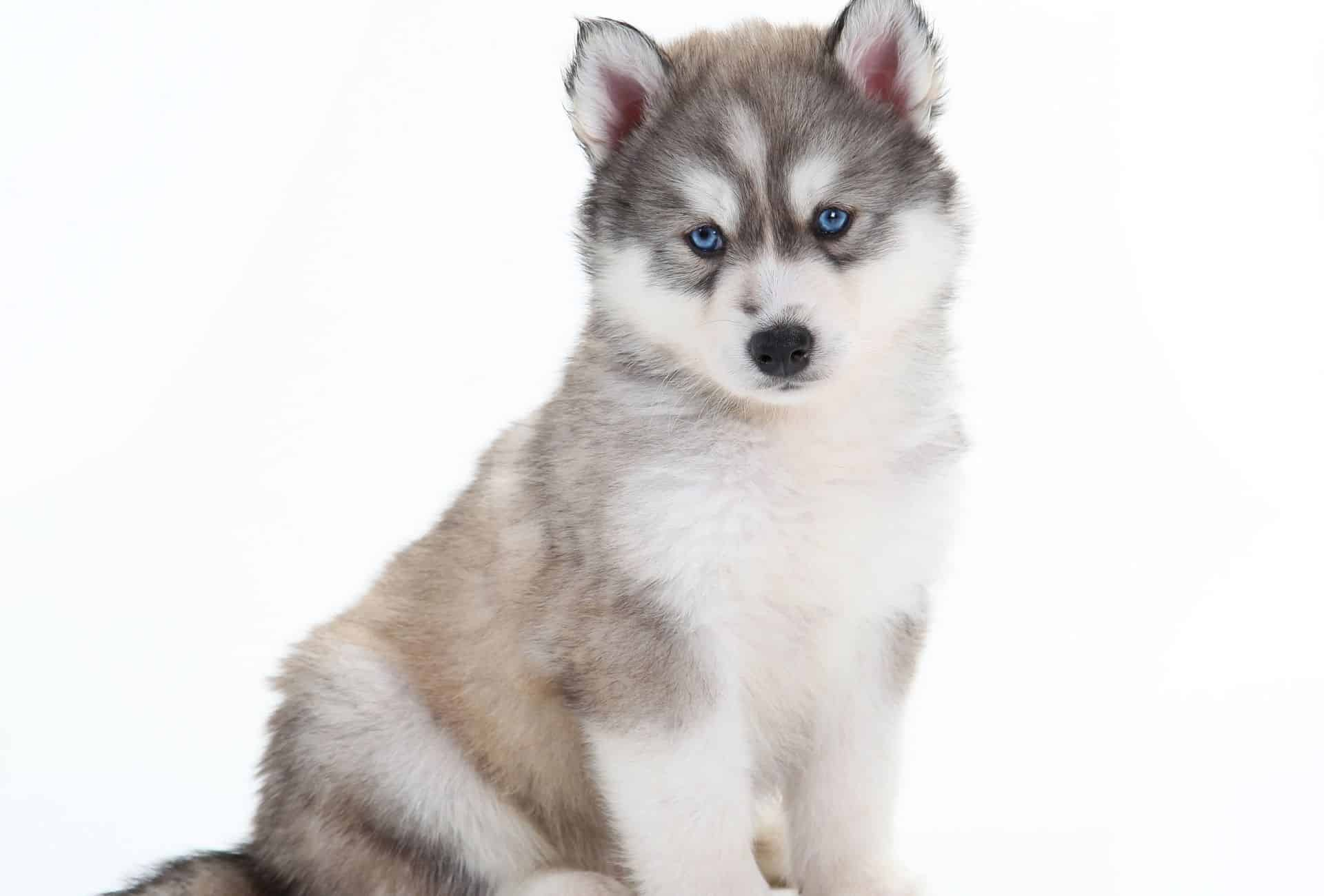 Fluffy Husky pup posing in front of white background.