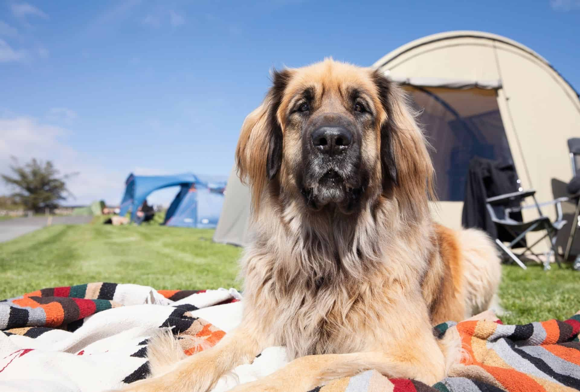 Big Leonberger dog enjoys the sun while he's outside of the camping tent on a blanket.