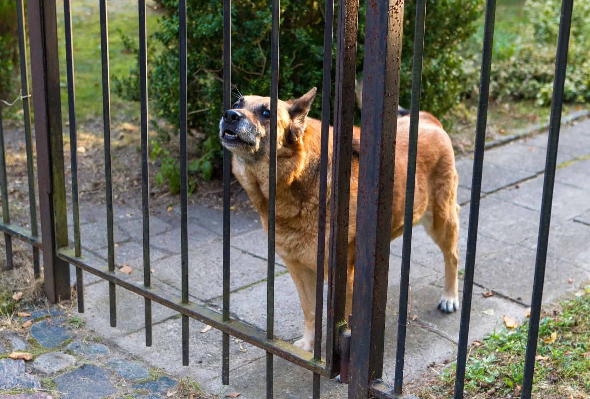 Dog presses his snout through the gate to bark at the neighbor or passerby.
