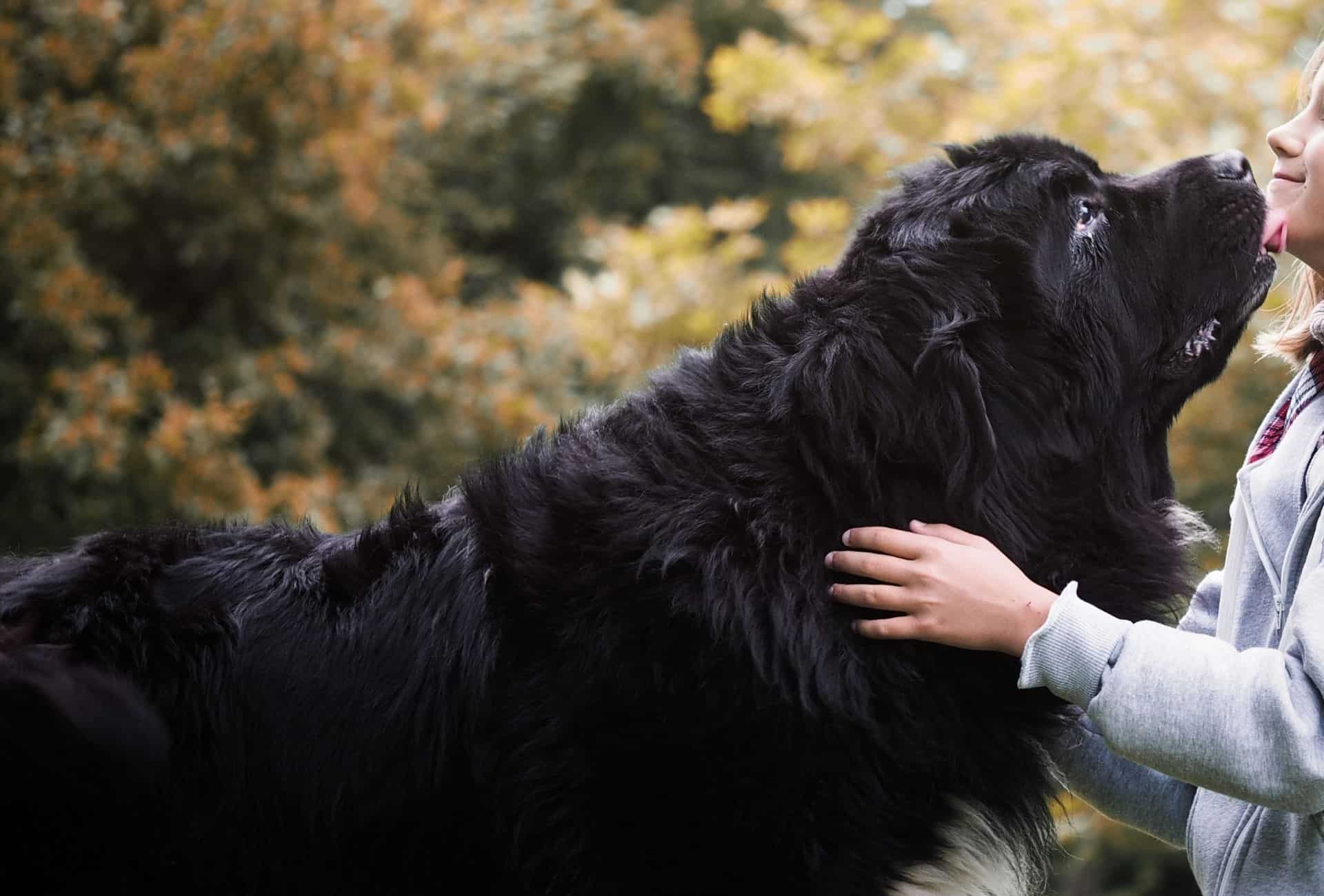Large black Newfoundland licks over young girl.