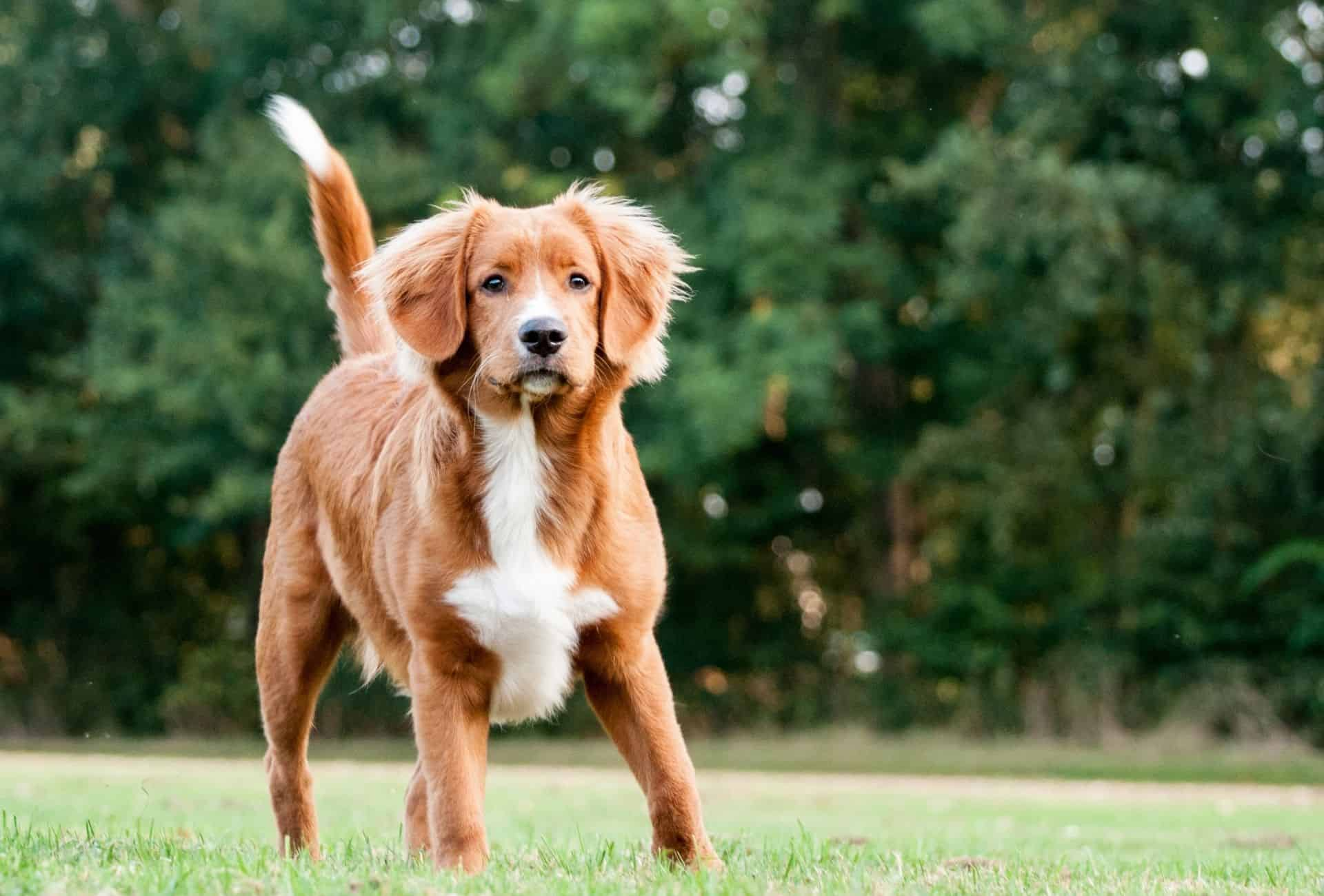 Super cute Nova Scotia Duck Tolling Retriever might be a good fit for shy children.