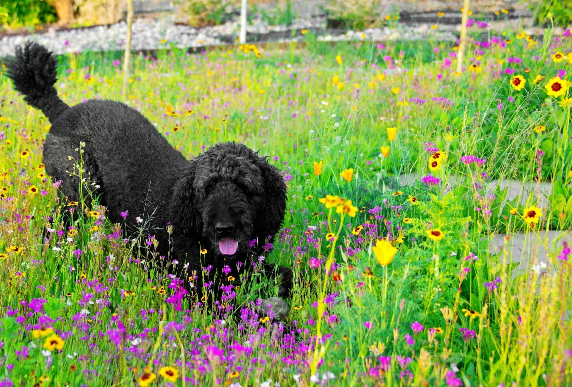 Black Standard Poodle makes a play-bow in a colorful flower bed.