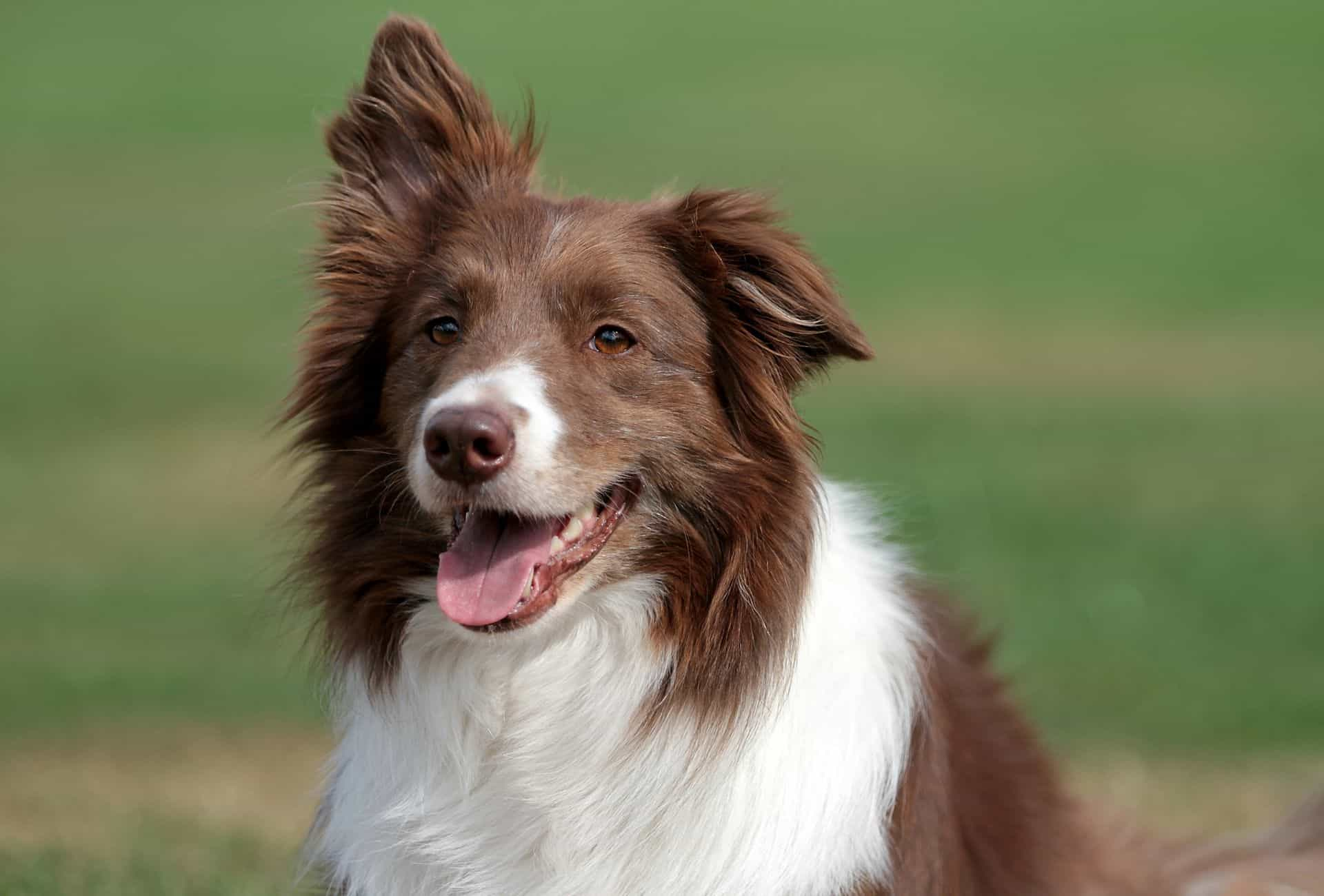 Red Border Collie with white patches below the neck and white around the pink nose.